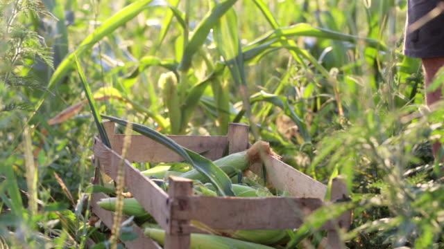 Farmer puts the corn cob in wooden box on the corn field of organic eco farm video