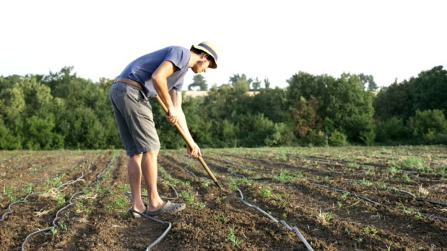 Farmer removes weeds by hoe in corn field with young growth at organick eco farm video