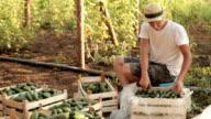 Farmer sort freshly cucumbers on the organic farm video