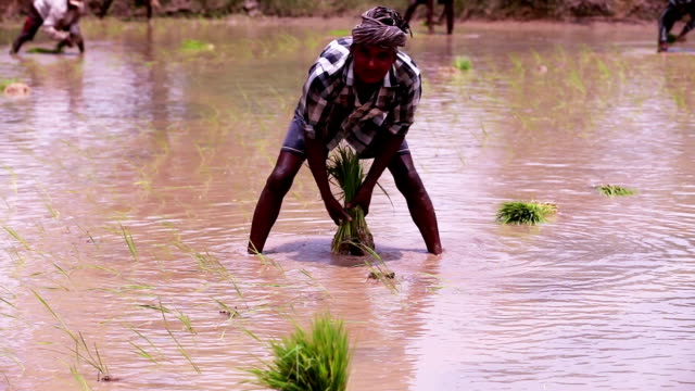 Farmer Sowing Rice Paddy Plant in the field video