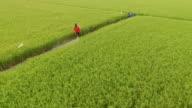 Farmer spray the fertilizer in green rice field video
