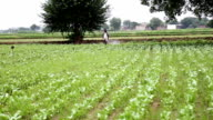 Farmer spraying insecticide in cauliflower field video