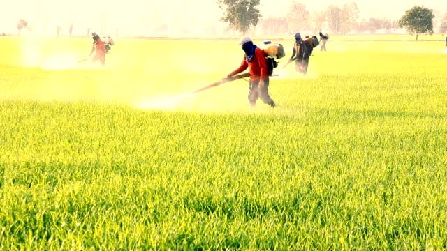 farmer spraying pesticide in paddy field. video