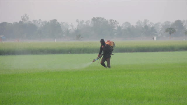farmer spraying pesticide in rice farm in the morning video