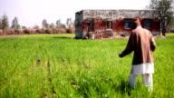 Farmer spreading compost in the wheat field video