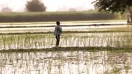 Farmer Spreads fertilizers in the Field of Paddy Rice plants. video