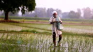 Farmer Spreads fertilizers in the Field of Paddy Rice plants video