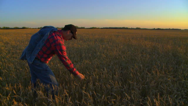 Farmer stands in his field at sunset video