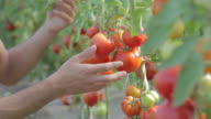 Farmer taking care of tomatoes in greenhouse pan shot video