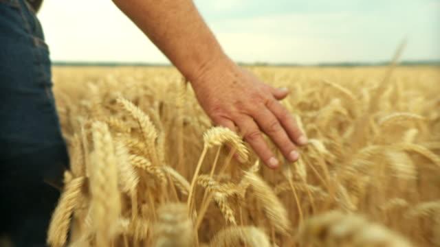 HD SLOW-MOTION: Farmer Touching In Wheat video