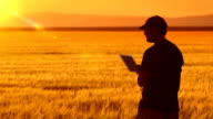 Farmer uses a tablet while looking at his crops. video