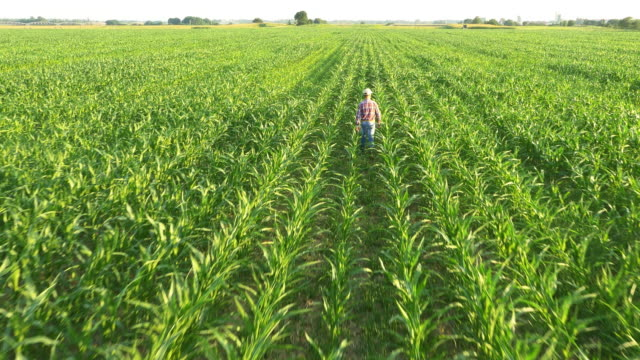 AERIAL Farmer walking in the field of corn video