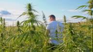 DS Farmer walking in the hemp field video