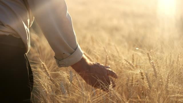 Farmer walking in wheat field touching the heads of corn video
