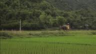 Farmer walking the bull in rice fields of Sapa Mai Chau Vietnam video