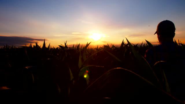 MS DS Farmer Walking Through Field Of Corn video