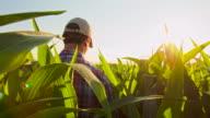 MS TS Farmer Walking Through Field Of Corn video