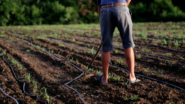 Farmer with hoe weeding field with young growth of corn at organic farm video