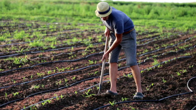 Farmer with hoe weeding field with young growth of corn at organic eco farm video