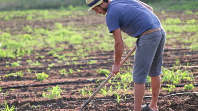 Farmer with hoe weeding field with young growth of sweet potato at organic farm video