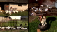 Farmer woman feed broiler and pluck feather. Video clip collage. video