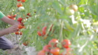 Farmer working in greenhouse pan shot video