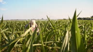 Farmer working in the corn field video
