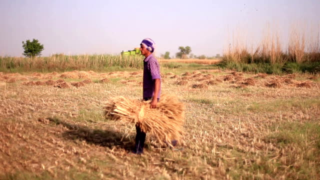 Farmer working in the field during wheat harvesting video