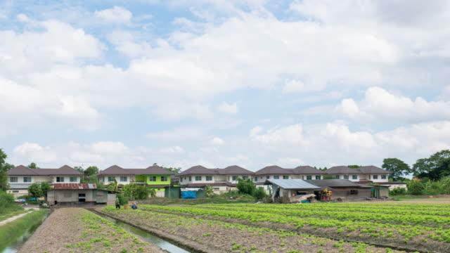 Farmers are harvesting lettuces in the farm, Nonthaburi, Thailand video