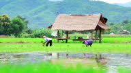 Farmers are planting rice in paddy field video