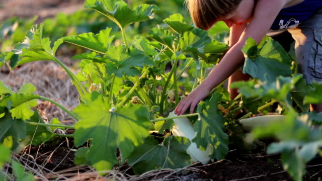 Farmer's child helping harvesting organic vegetable marrow at field of eco farm. video