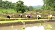 Farmers grow rice, slow motion video