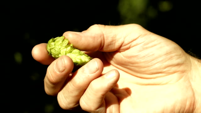 Farmer's Hand Checking Hop Cone (4K/UHD to HD) video
