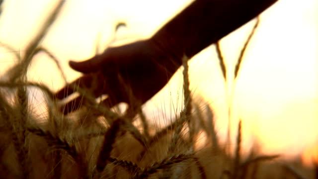 Farmers hand in golden wheat video