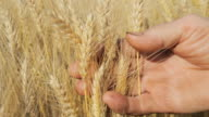 HD: Farmer's Hands Holding The Wheat video