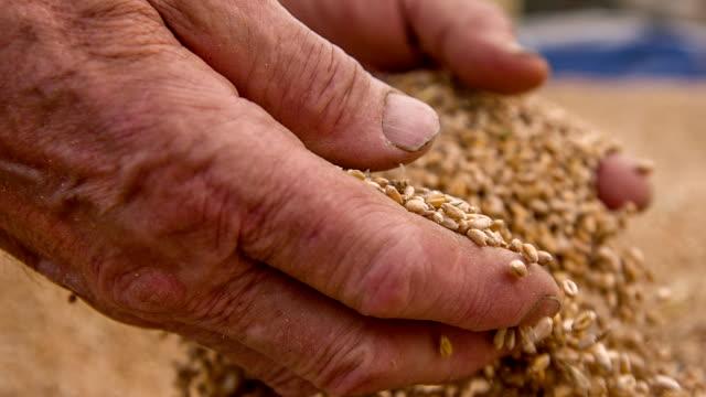 SLO MO Farmer's Hands Holding Wheat Grains video