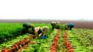 Farmers harvest carrots on the field, Vietnam video
