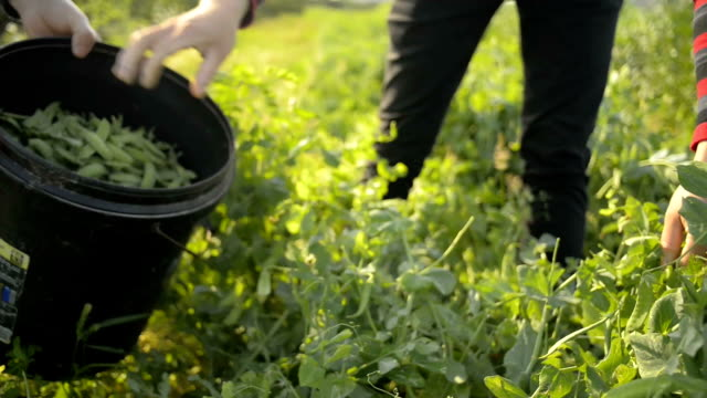 Farmers on the farm, picking beans video