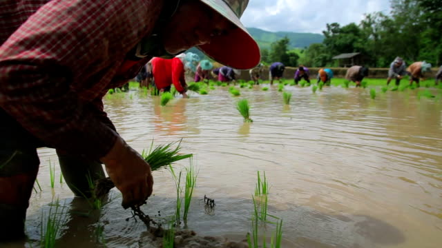 Farmers plant rice in paddy field video