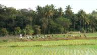Farmers Planting Rice HD Video video