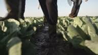Farmers Walking through Mud on Cabbage Field video