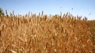 Farming in the Fields video