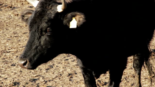 Farming in the spring - young bull is curious video