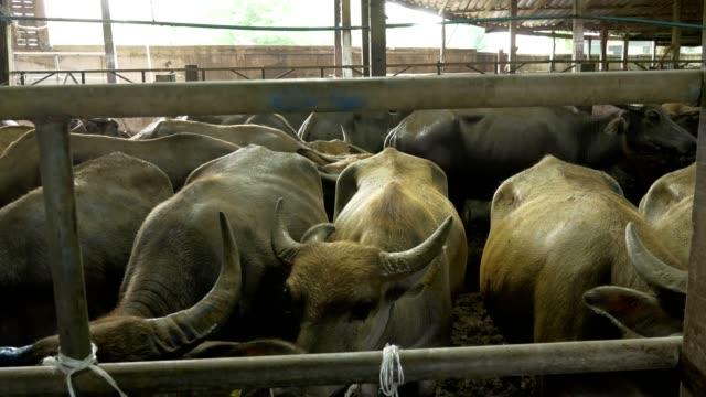 Farming Water buffalo or domestic Asian Buffalo eating hey grass in Buffalo stall - dolly footage - video