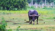Farming Water buffalo video