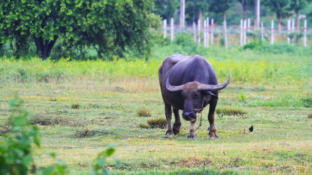 Farming Water buffalo video