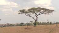 CLOSE UP: Fascinating savannah grassland and acacia tree woodland in hot Africa video