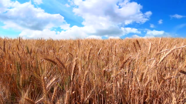 Fast Clouds over Golden Wheat video