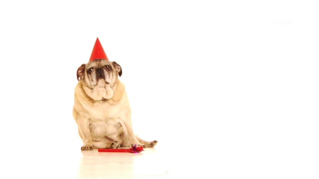 Fat Party Dog video
