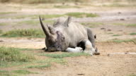 Fatal injuries White Rhino with birds - very tired video